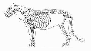 skeleton of a lion, it moves on its toes
