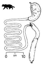 lengte vd darmen van een mens