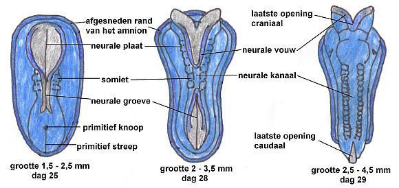 Neurulatie